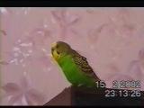 Попугай чирикает и бегает по столу